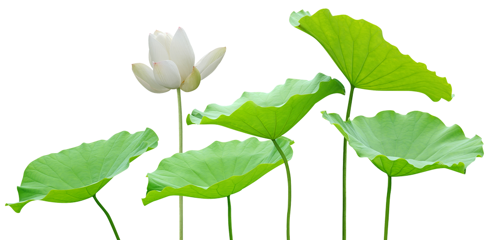 white-lily-green-leaves